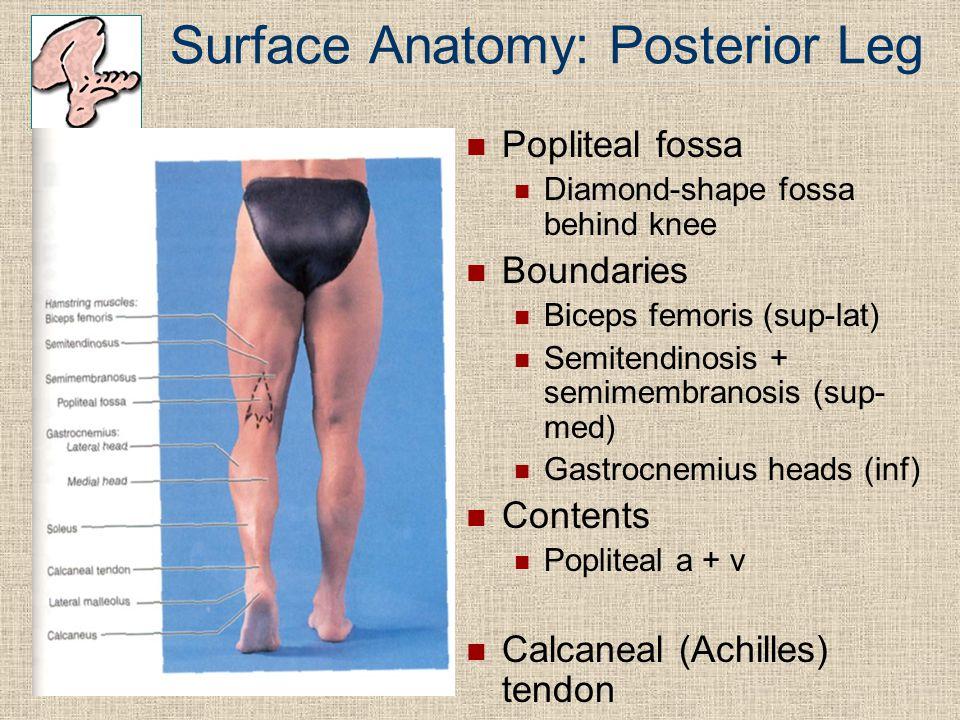 Surface Anatomy: Posterior Leg Popliteal fossa Diamond-shape fossa behind knee Boundaries Biceps femoris (sup-lat) Semitendinosis + semimembranosis (s