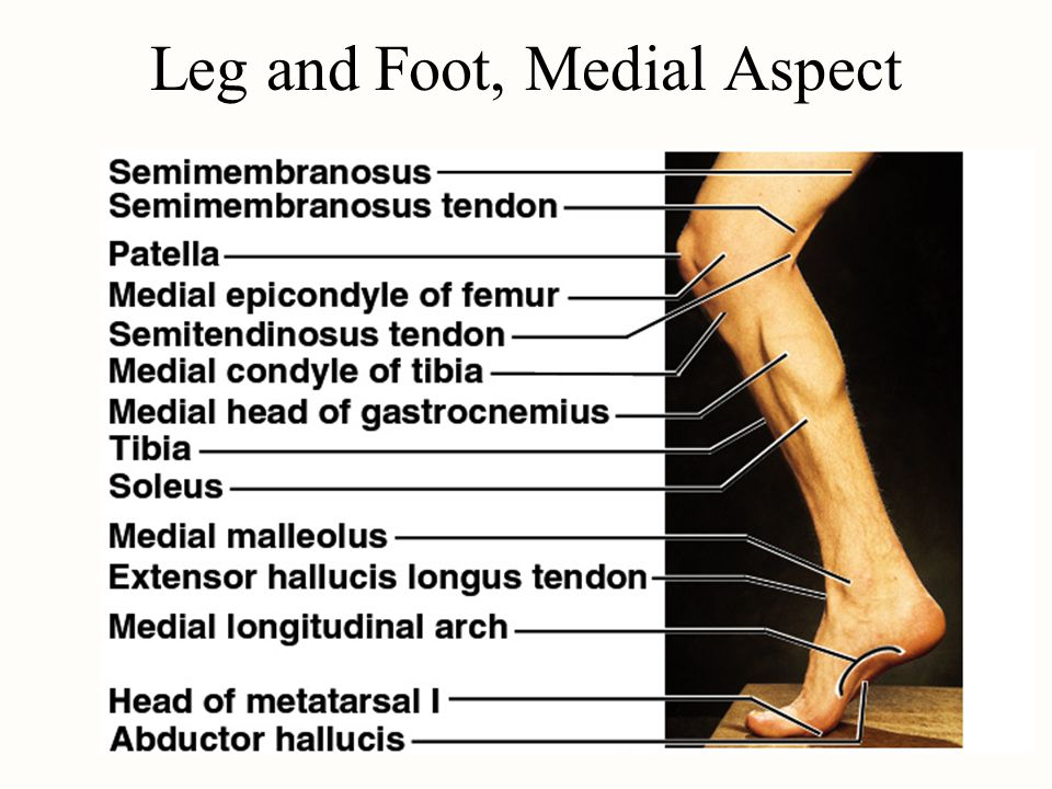 Leg and Foot, Medial Aspect