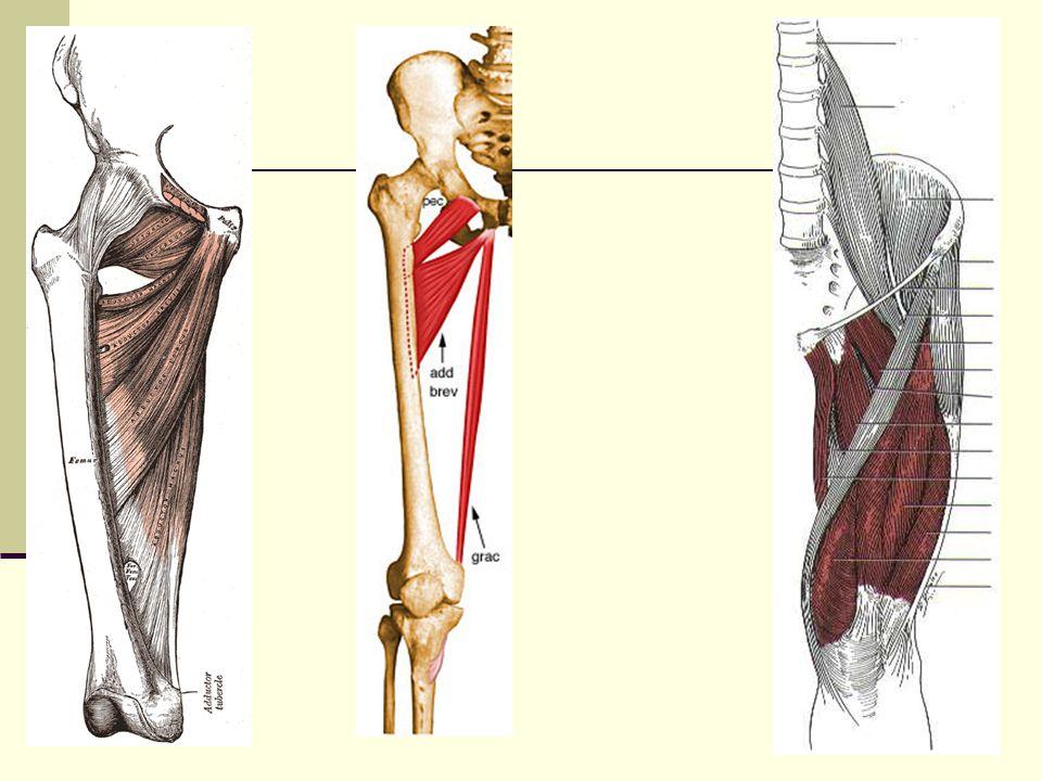 Adductor Brevis Origin: Inferior ramus of pubis Insertion: Pectineal line (linea aspera) Actions: Adduction External rotation