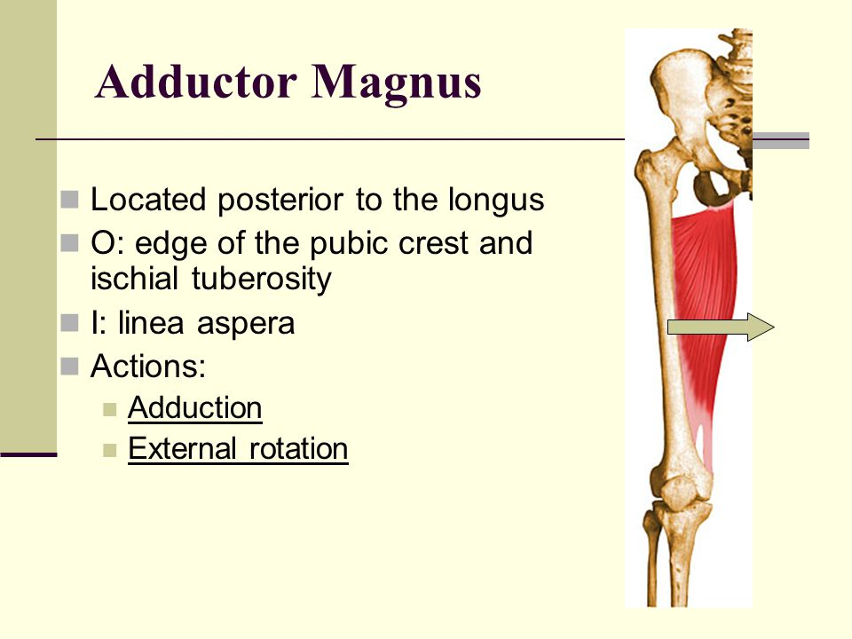 Adductor Longus Below the adductor brevis O: front of the pubis just below its crest I: middle third of the linea aspera Actions: Adduction Flexion
