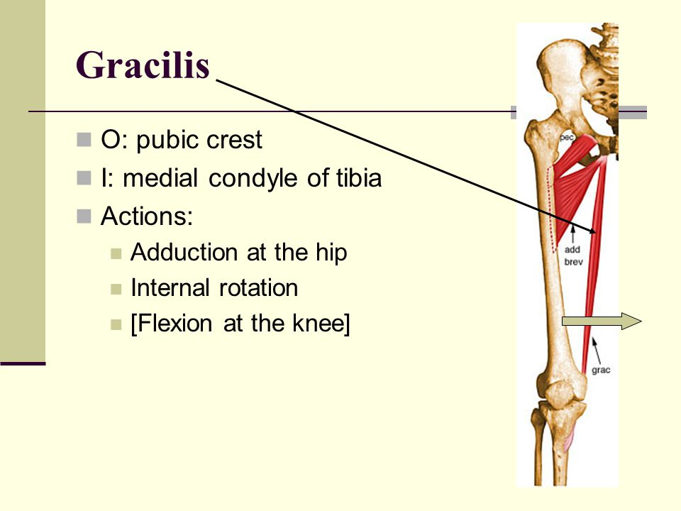 Adductor Magnus Located posterior to the longus O: edge of the pubic crest and ischial tuberosity I: linea aspera Actions: Adduction External rotation