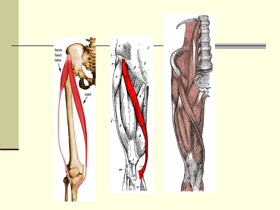 Sartorius Origin: Anterior-superior spine of the ilium Insertion: Anterior medial condyle of the tibia (behind the medial condyle) Action: Flexion of