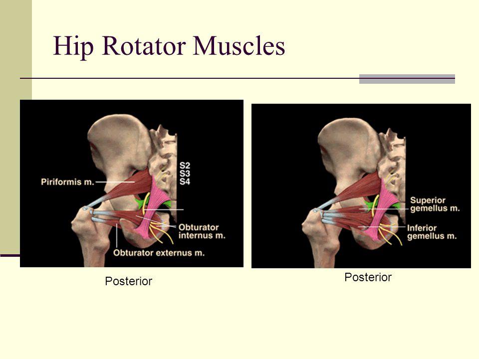 Hip Rotator Muscles POSTERIOR Piriformis Gemellus superior Obturator internus Gemellus inferior Quadratus femoris Posterior