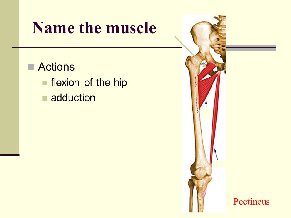 Actions: flexion of the thigh at the hip slight adduction flexion of the spine Iliopsoas Name the muscle