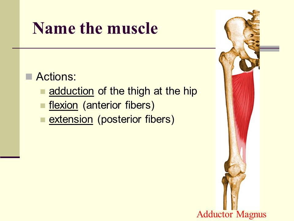 Actions: flexion of the thigh at the hip medial rotation abduction of the thigh, medial rotation (weak) Tensor Fasciae Latae Name the muscle