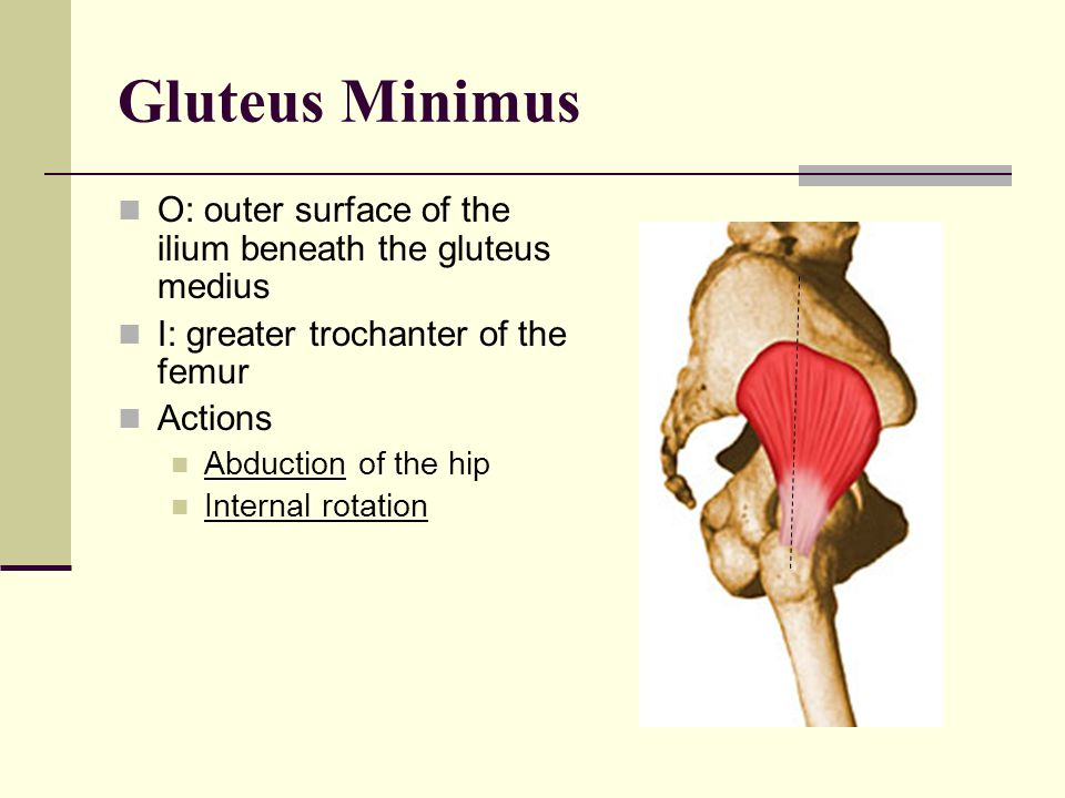 Gluteus Medius O: outer surface of the ilium just below the crest I: greater trochanter Actions: Abduction of the hip Anterior fibers: Internal rotati