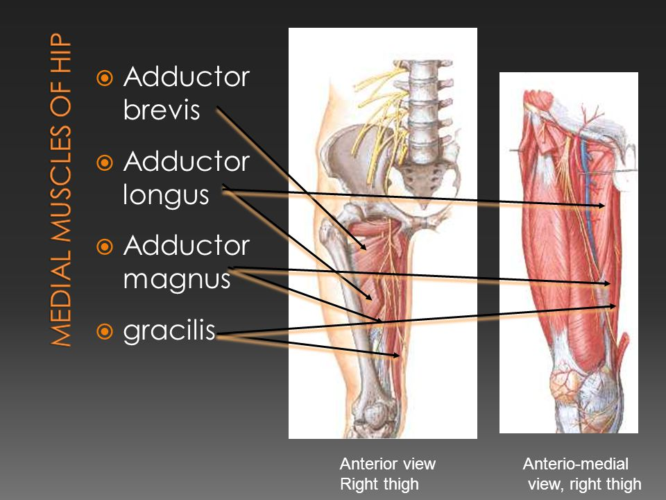  Adductor brevis  Adductor longus  Adductor magnus  gracilis Anterior view Right thigh Anterio-medial view, right thigh