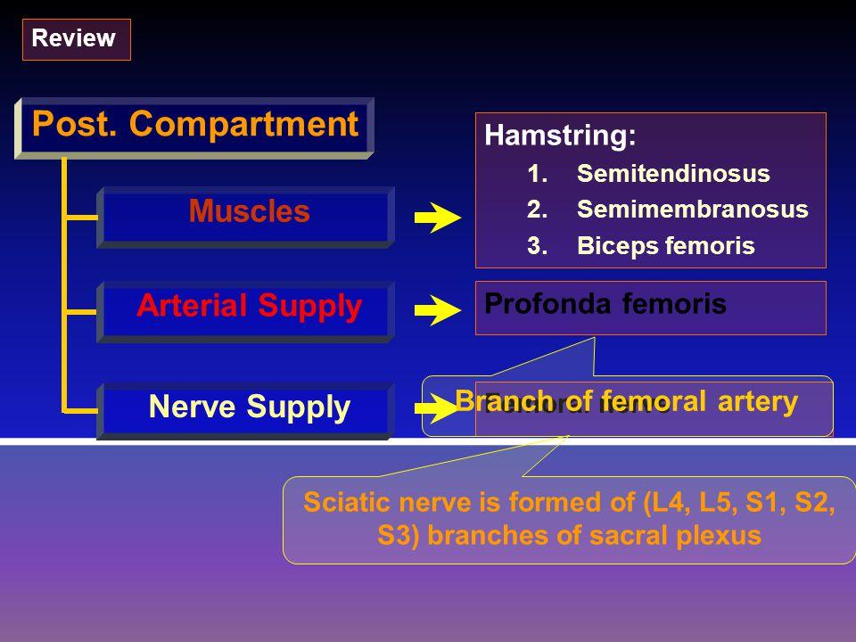 Post. Compartment Muscles Arterial Supply Nerve Supply Hamstring: 1.SemitendinosusSemitendinosus 2.SemimembranosusSemimembranosus 3.Biceps femorisBice