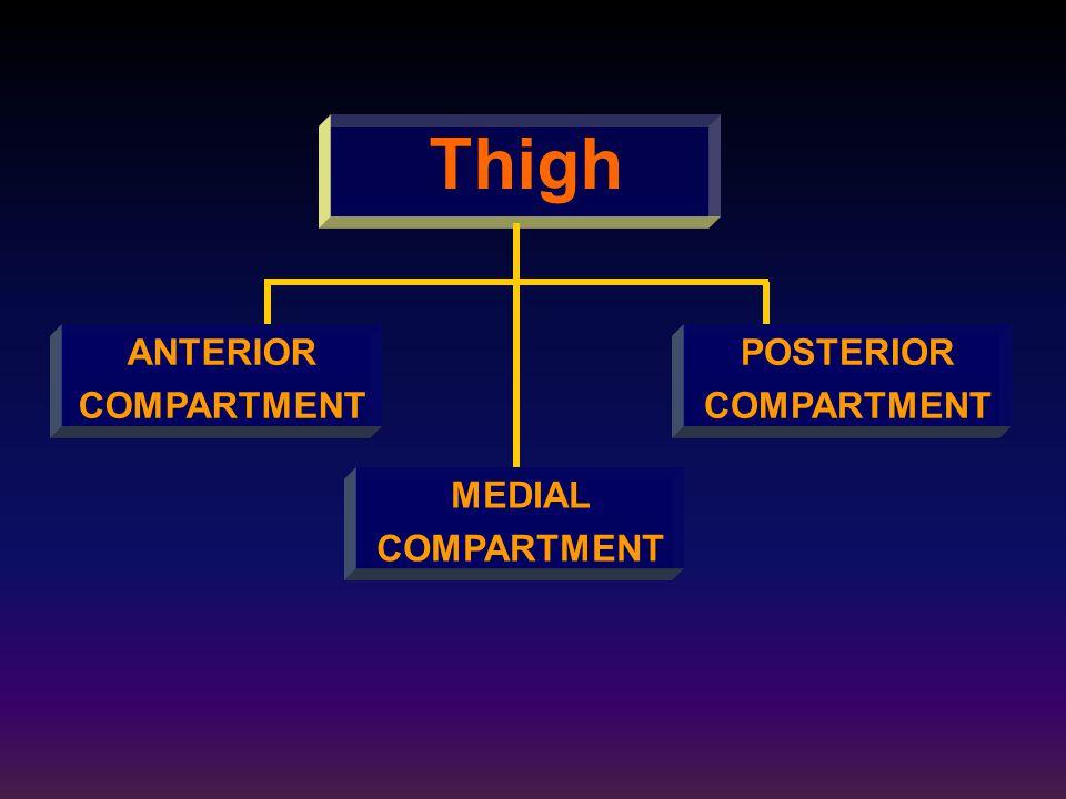 Thigh ANTERIOR COMPARTMENT POSTERIOR COMPARTMENT MEDIAL COMPARTMENT