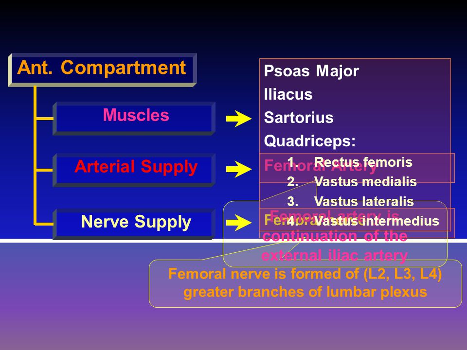 Ant. Compartment Muscles Arterial Supply Nerve Supply Femoral Artery Femoral nerve Femoral nerve is formed of (L2, L3, L4) greater branches of lumbar