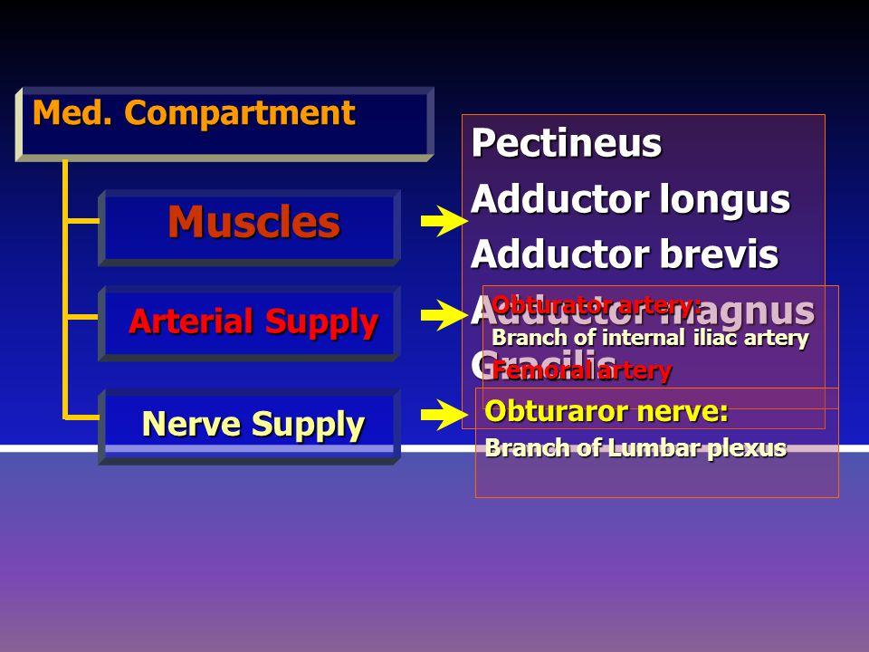 Med. Compartment Muscles Arterial Supply Nerve Supply PPPP eeee cccc tttt iiii nnnn eeee uuuu ssss AAAA dddd dddd uuuu cccc tttt oooo rrrr l l l l ooo