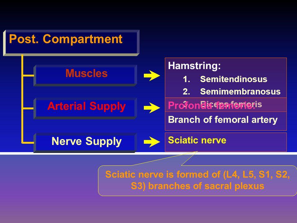 Post. Compartment Muscles Arterial Supply Nerve Supply Hamstring: 1.SSemitendinosus 2.SSemimembranosus 3.BBiceps femoris Profonda femoris: Branch of f