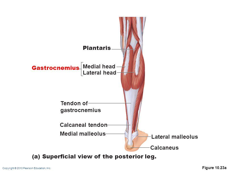 Copyright © 2010 Pearson Education, Inc. Figure 10.23a Gastrocnemius Plantaris Medial head Lateral head Tendon of gastrocnemius Calcaneal tendon Media