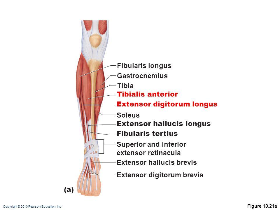 Copyright © 2010 Pearson Education, Inc. Figure 10.21a Fibularis longus Gastrocnemius Tibia Tibialis anterior Extensor digitorum longus Soleus Extenso