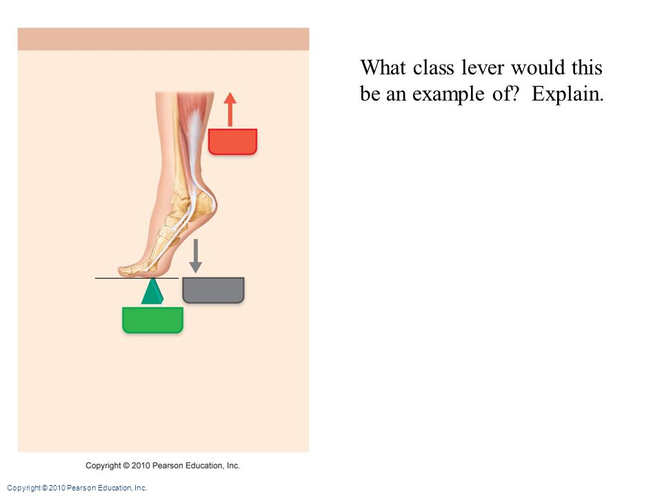 Copyright © 2010 Pearson Education, Inc. What class lever would this be an example of? Explain.