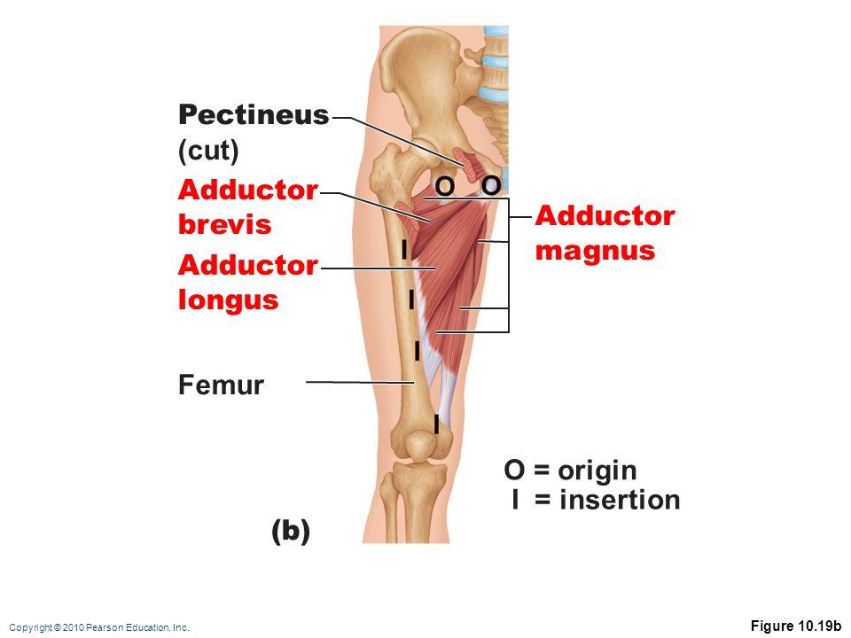 Copyright © 2010 Pearson Education, Inc. Figure 10.19b (b) O = origin I = insertion Adductor magnus Pectineus (cut) Adductor brevis Adductor longus Fe