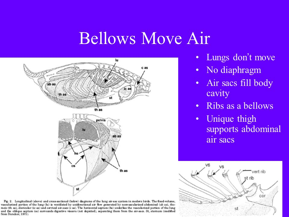 Bellows Move Air Lungs don't move No diaphragm Air sacs fill body cavity Ribs as a bellows Unique thigh supports abdominal air sacs