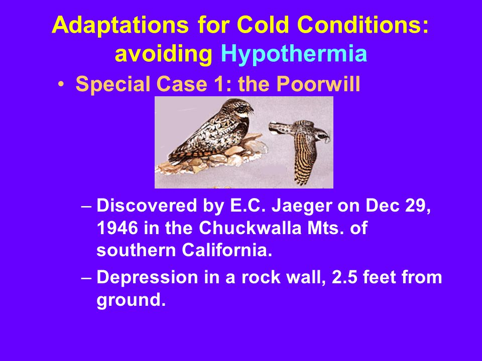 Adaptations for Cold Conditions: avoiding Hypothermia Special Case 1: the Poorwill –Discovered by E.C.