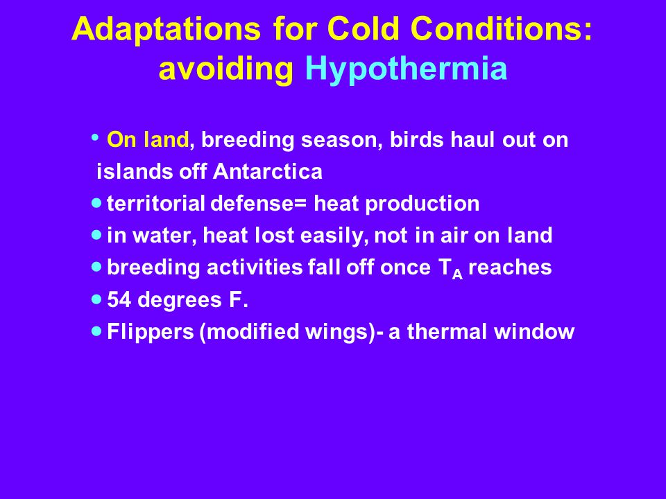 Adaptations for Cold Conditions: avoiding Hypothermia On land, breeding season, birds haul out on islands off Antarctica  territorial defense= heat production  in water, heat lost easily, not in air on land  breeding activities fall off once T A reaches  54 degrees F.