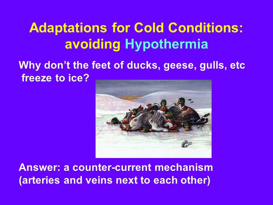 Adaptations for Cold Conditions: avoiding Hypothermia Why don't the feet of ducks, geese, gulls, etc freeze to ice.