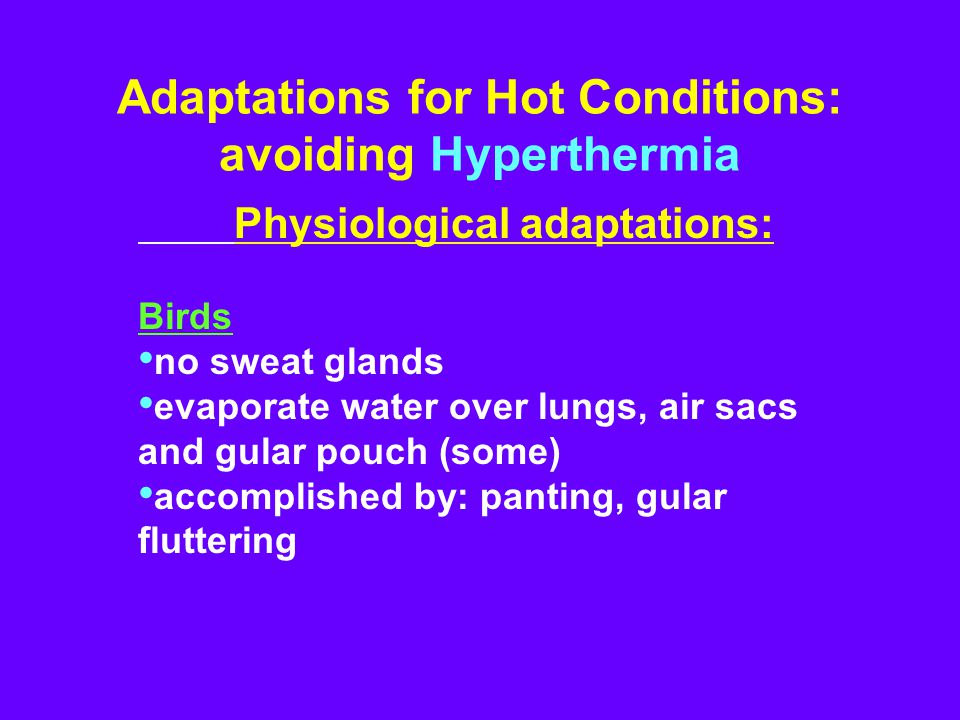 Adaptations for Hot Conditions: avoiding Hyperthermia Physiological adaptations: Birds no sweat glands evaporate water over lungs, air sacs and gular pouch (some) accomplished by: panting, gular fluttering