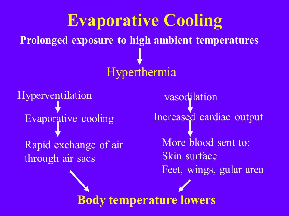 Evaporative Cooling Prolonged exposure to high ambient temperatures Hyperthermia Hyperventilation Evaporative cooling Rapid exchange of air through air sacs Body temperature lowers vasodilation Increased cardiac output More blood sent to: Skin surface Feet, wings, gular area