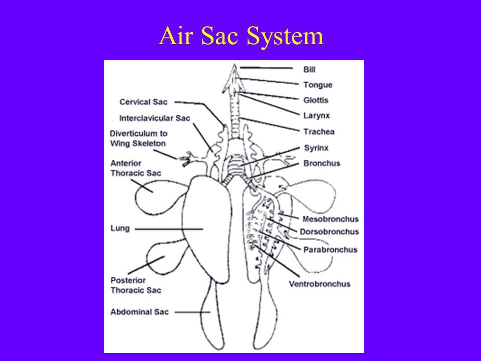 Air Sac System