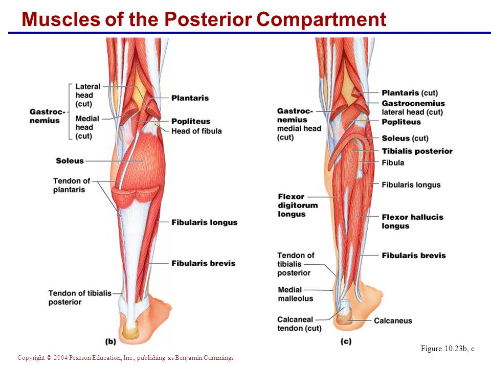 Copyright © 2004 Pearson Education, Inc., publishing as Benjamin Cummings Muscles of the Posterior Compartment Figure 10.23b, c