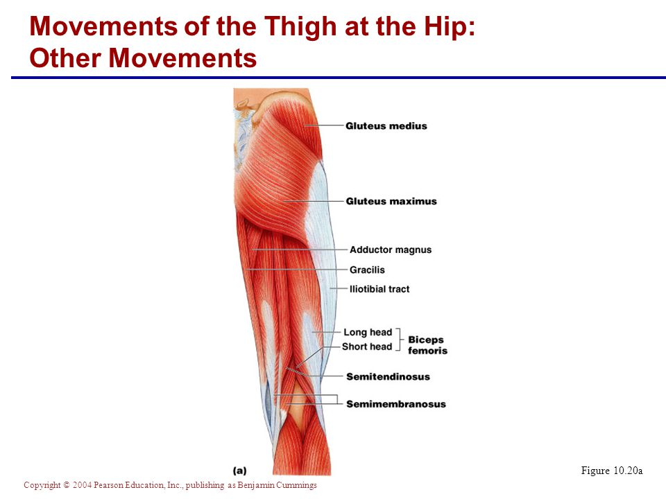 Copyright © 2004 Pearson Education, Inc., publishing as Benjamin Cummings Figure 10.20a Movements of the Thigh at the Hip: Other Movements