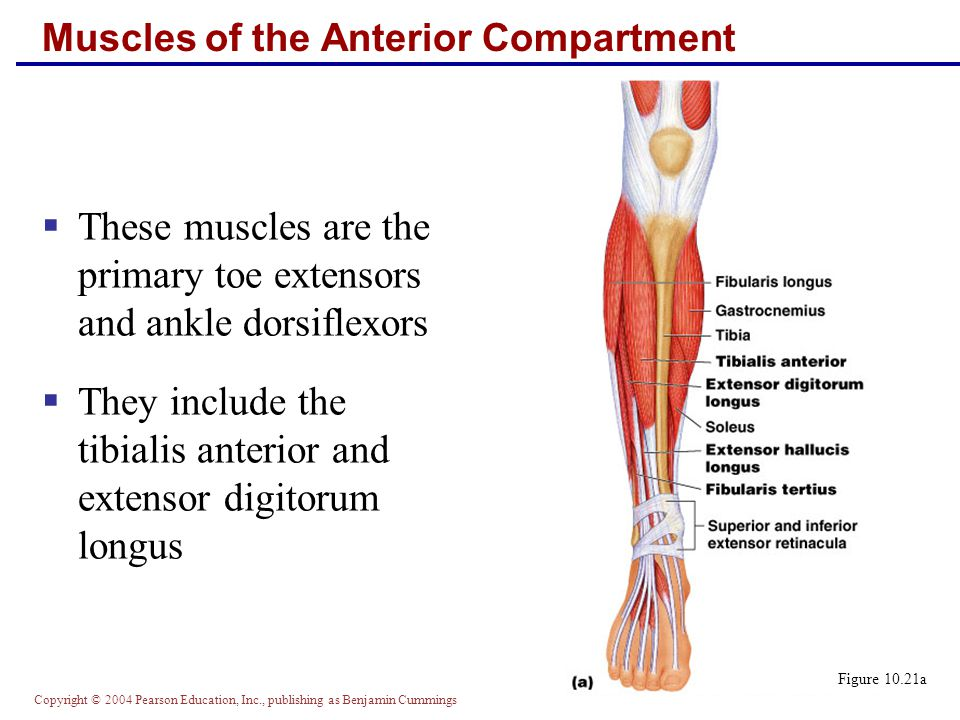 Copyright © 2004 Pearson Education, Inc., publishing as Benjamin Cummings Figure 10.21b-d Muscles of the Anterior Compartment