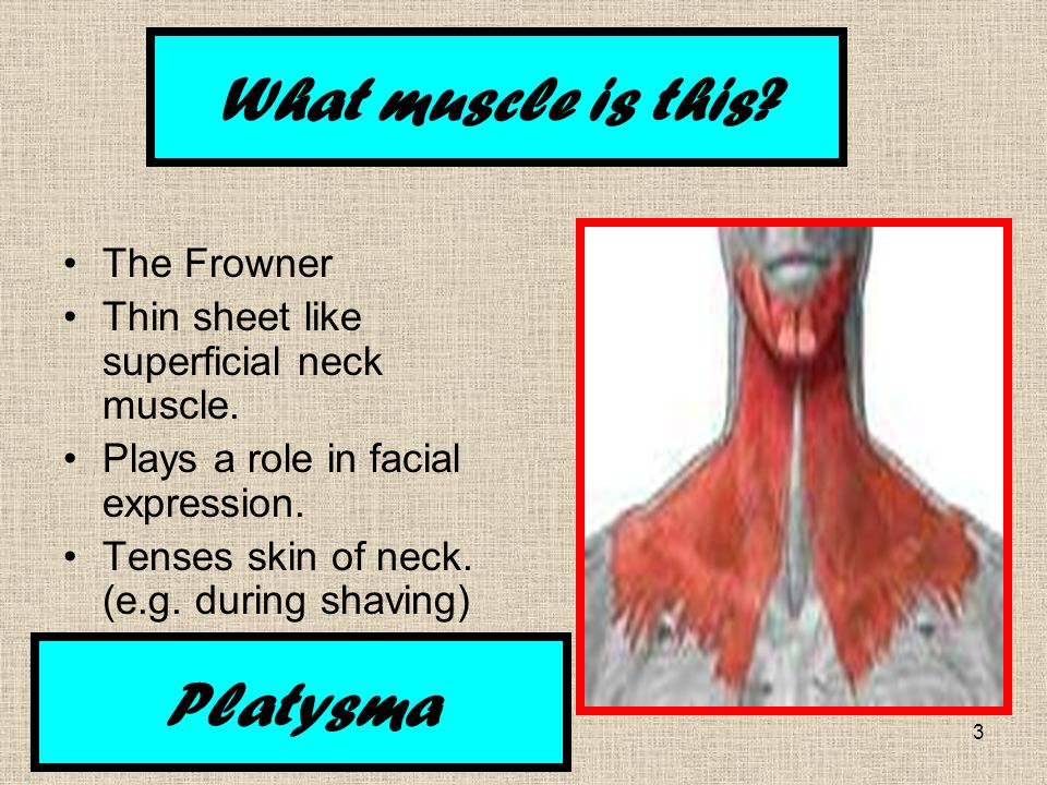 3 The Frowner Thin sheet like superficial neck muscle.