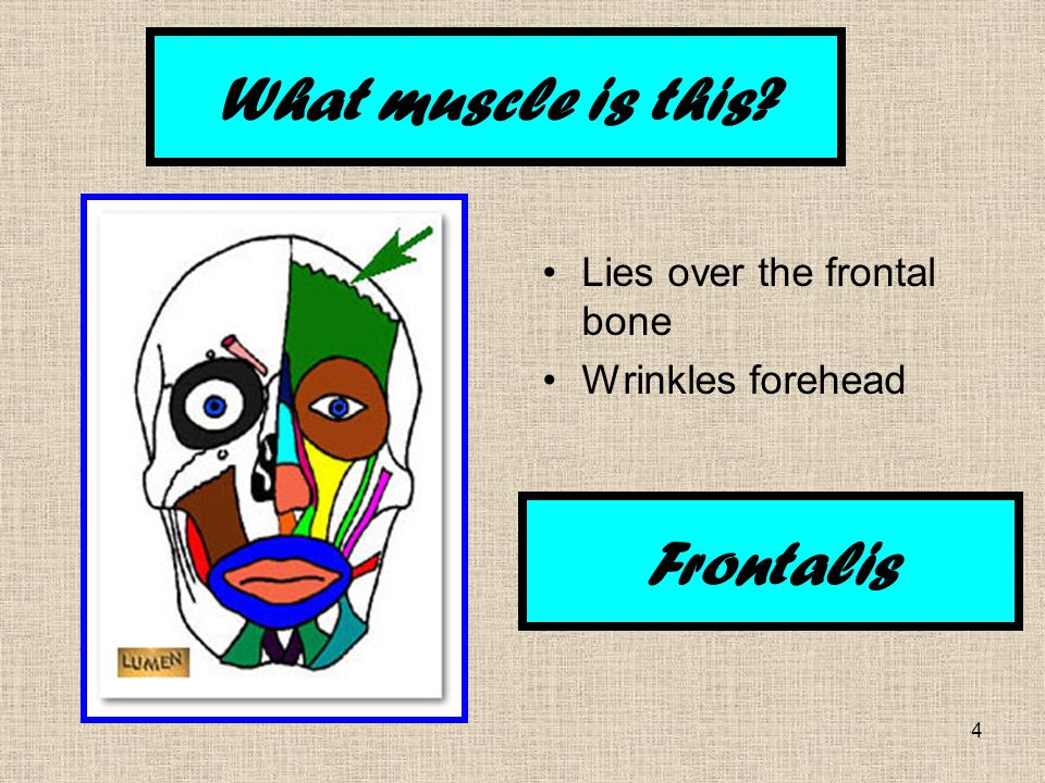 4 Lies over the frontal bone Wrinkles forehead What muscle is this Frontalis