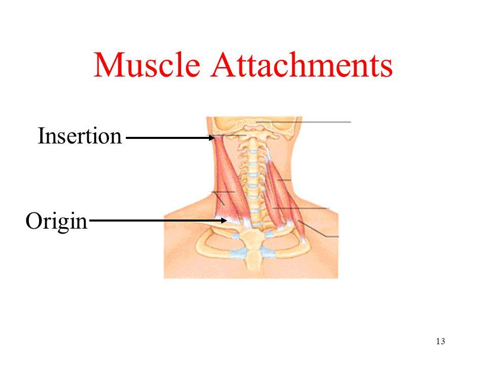 13 Muscle Attachments Origin Insertion