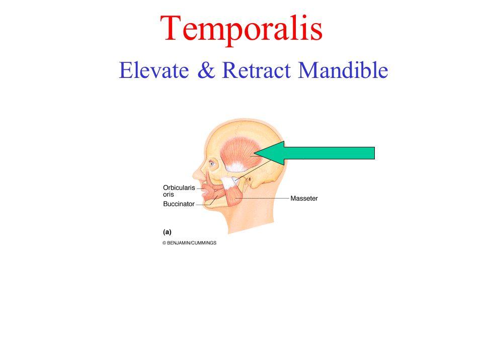 Temporalis Elevate & Retract Mandible