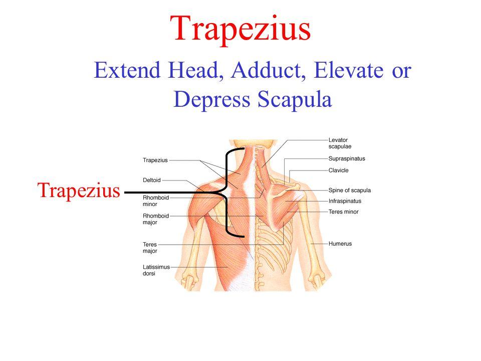Trapezius Extend Head, Adduct, Elevate or Depress Scapula Trapezius