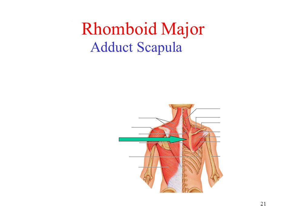 21 Rhomboid Major Adduct Scapula