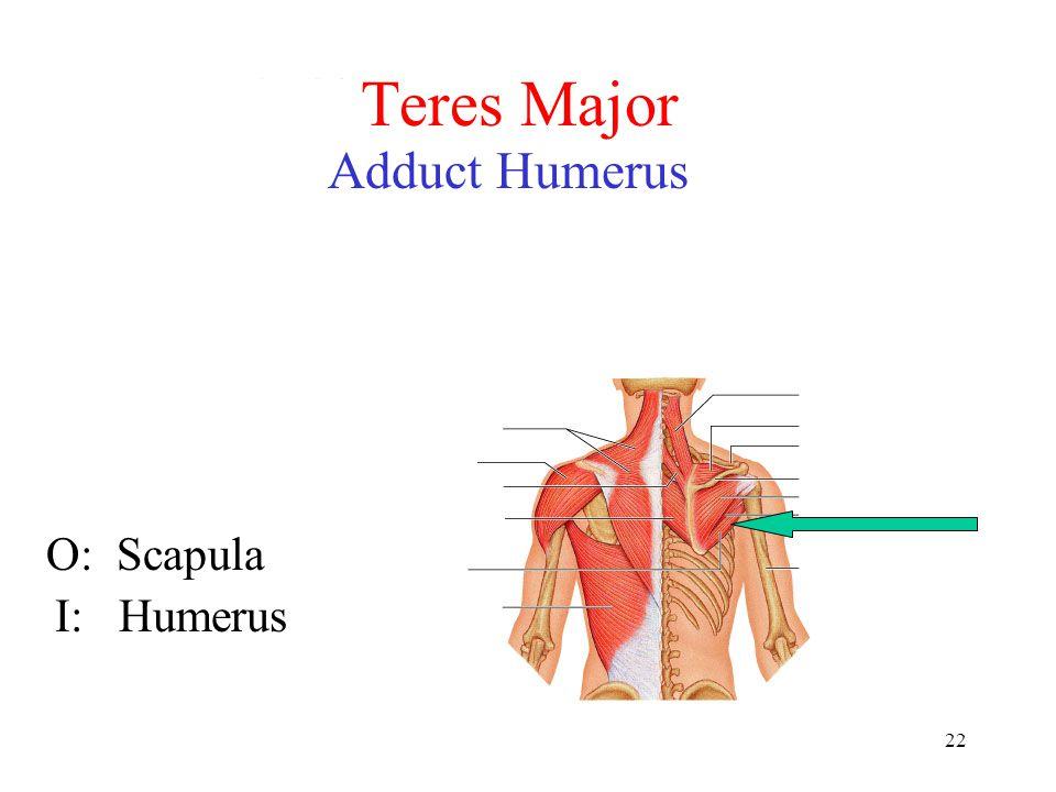 22 Teres Major Adduct Humerus O: Scapula I: Humerus