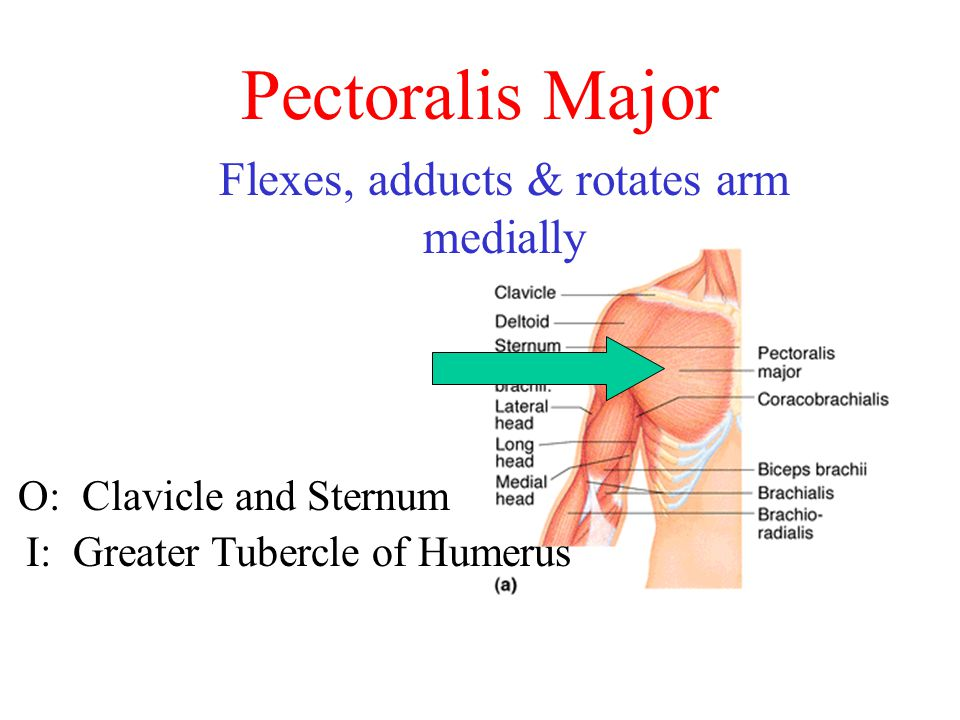 Pectoralis Major Flexes, adducts & rotates arm medially O: Clavicle and Sternum I: Greater Tubercle of Humerus