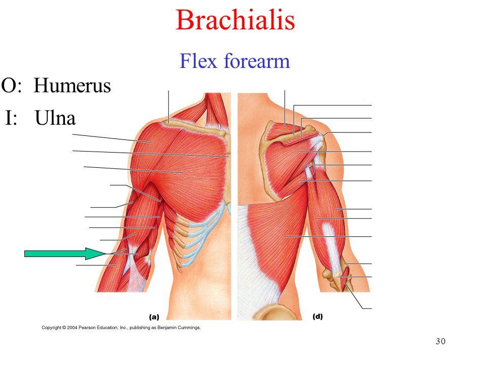30 Brachialis Flex forearm O: Humerus I: Ulna