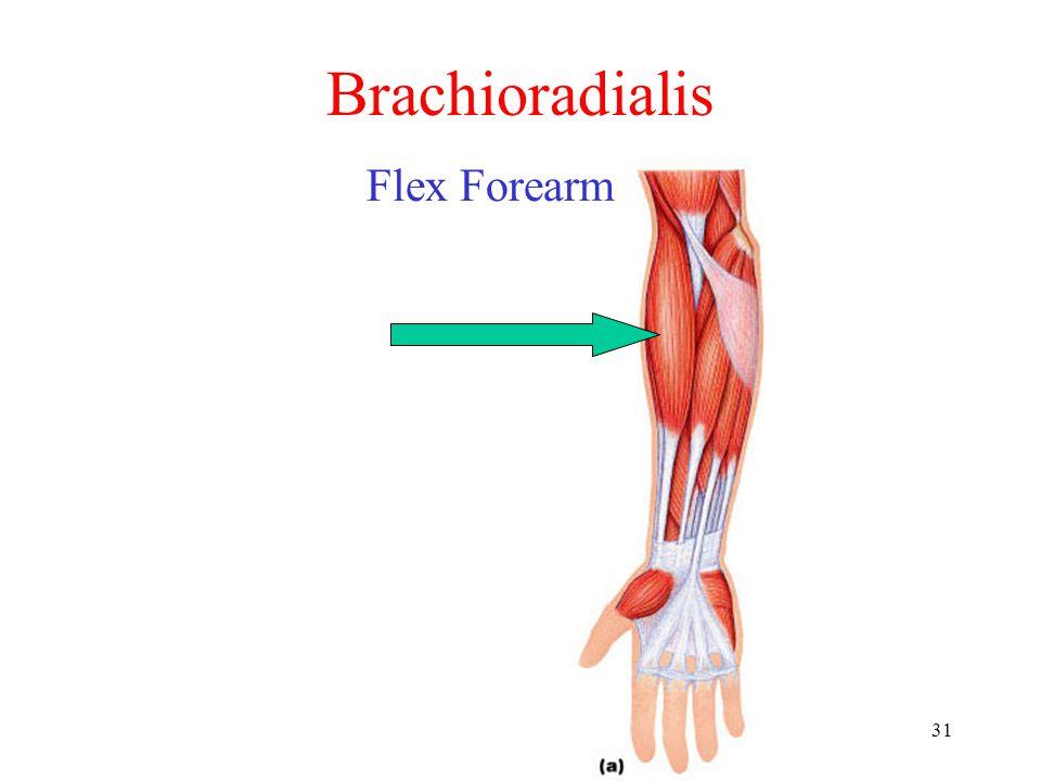 31 Brachioradialis Flex Forearm