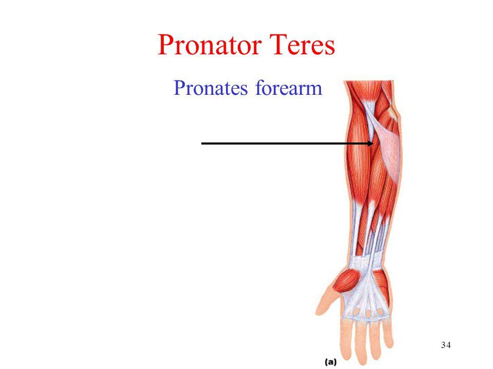34 Pronator Teres Pronates forearm
