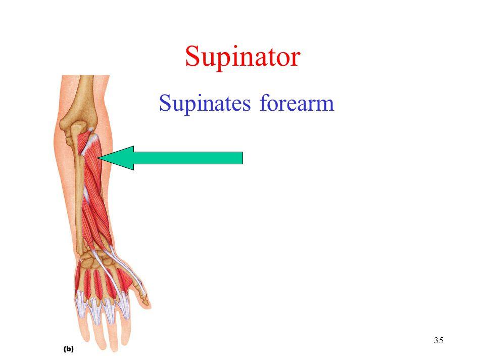 35 Supinator Supinates forearm