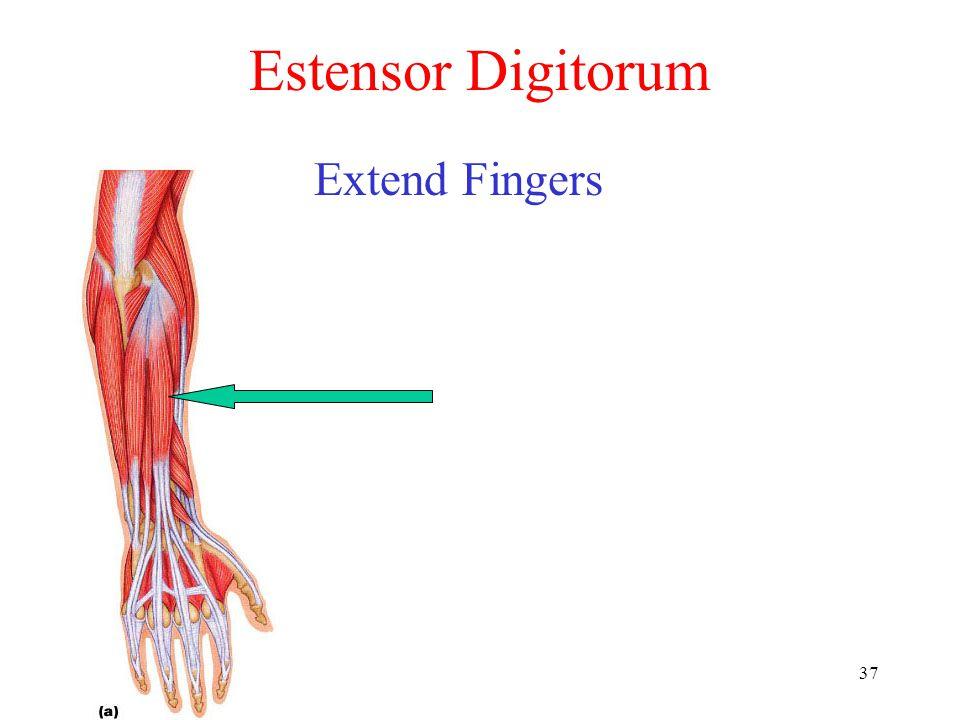 37 Estensor Digitorum Extend Fingers