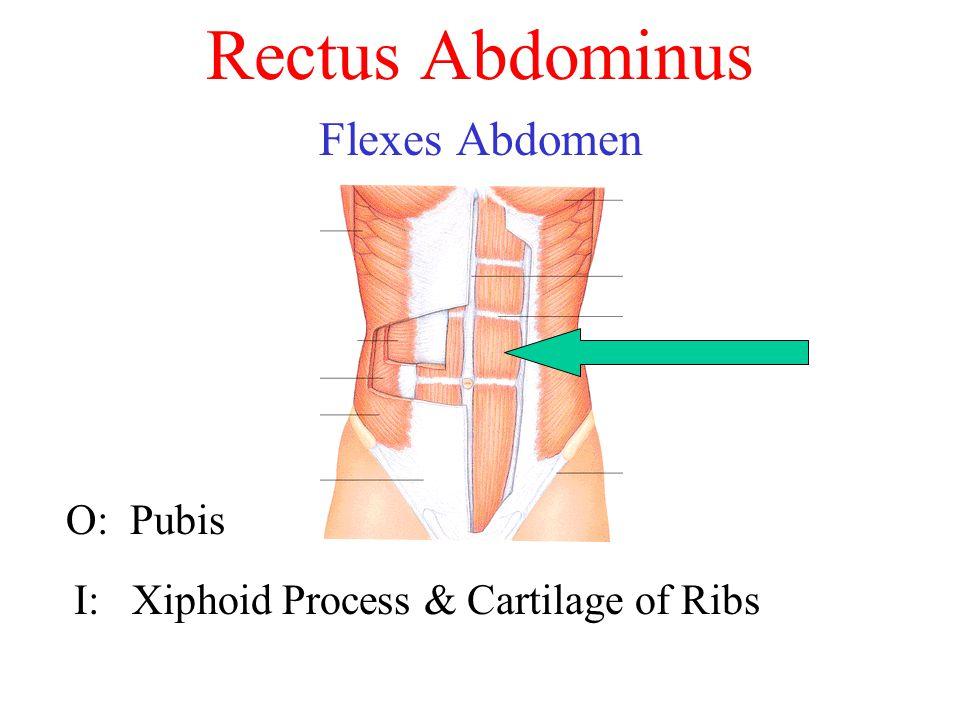 Rectus Abdominus Flexes Abdomen O: Pubis I: Xiphoid Process & Cartilage of Ribs