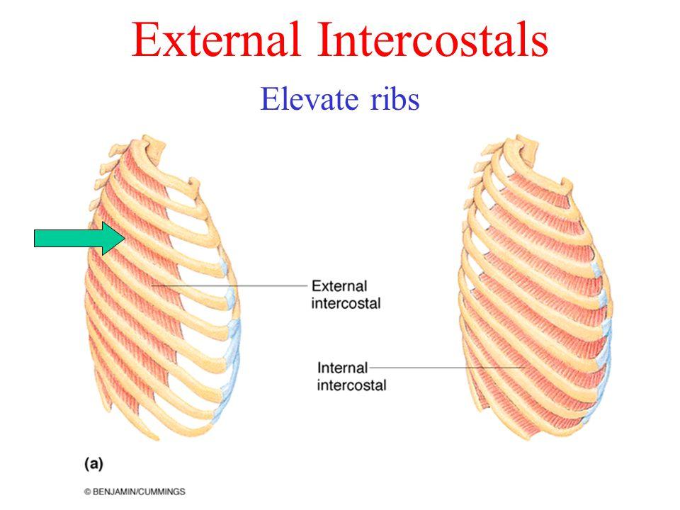 External Intercostals Elevate ribs