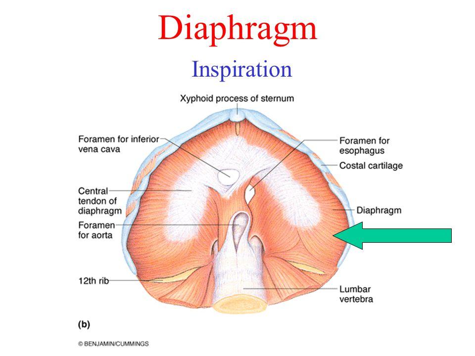 Diaphragm Inspiration