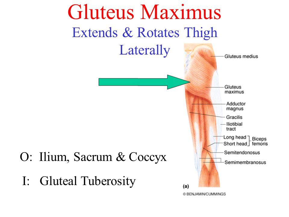 Gluteus Maximus O: Ilium, Sacrum & Coccyx I: Gluteal Tuberosity Extends & Rotates Thigh Laterally