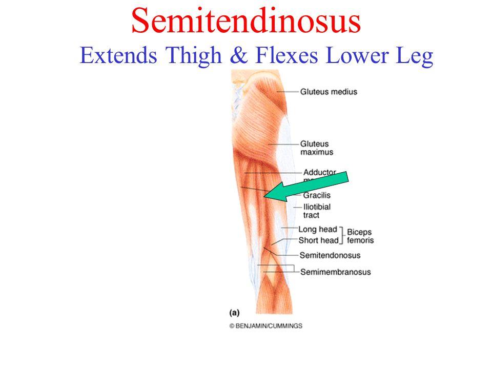 Semitendinosus Extends Thigh & Flexes Lower Leg
