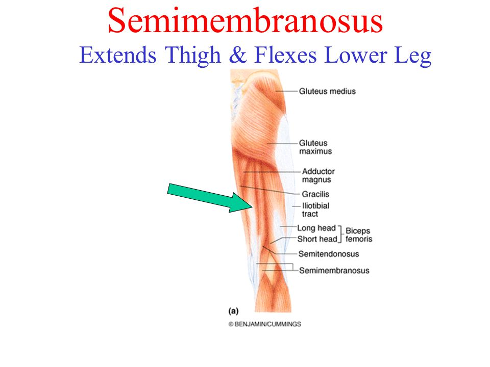 Semimembranosus Extends Thigh & Flexes Lower Leg