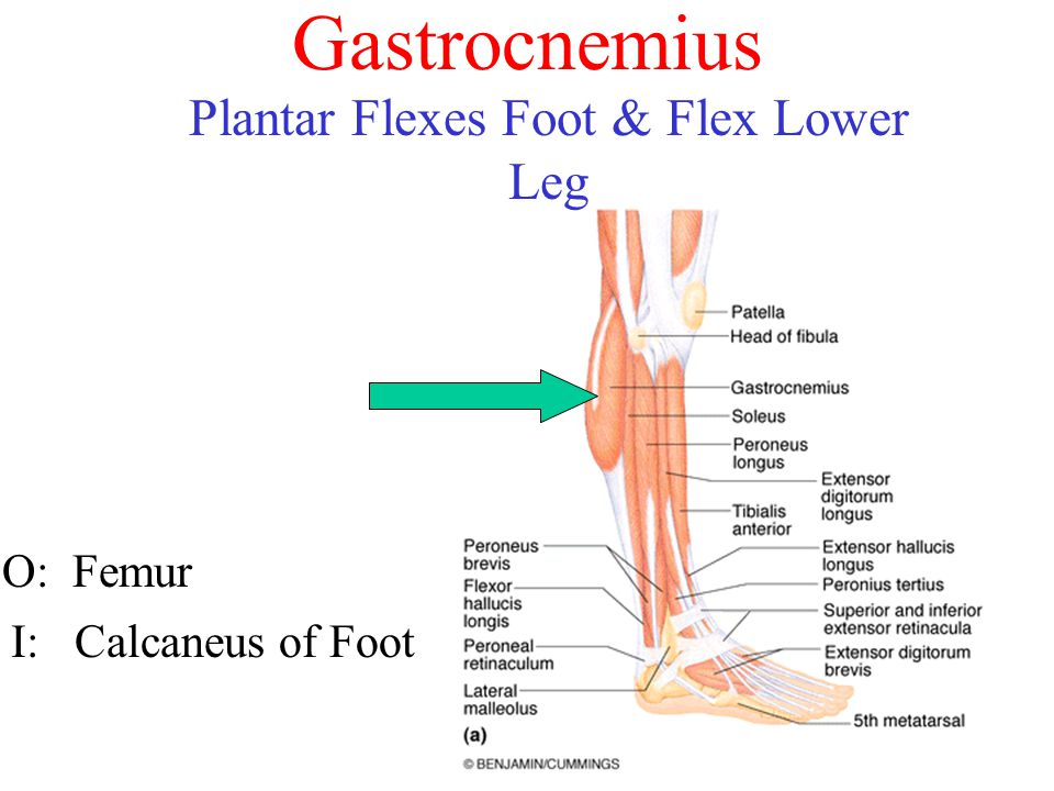Gastrocnemius O: Femur I: Calcaneus of Foot Plantar Flexes Foot & Flex Lower Leg